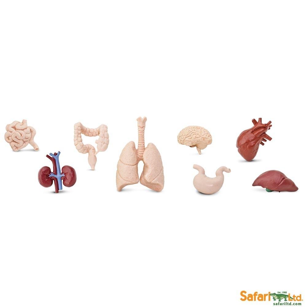 Lidské orgány