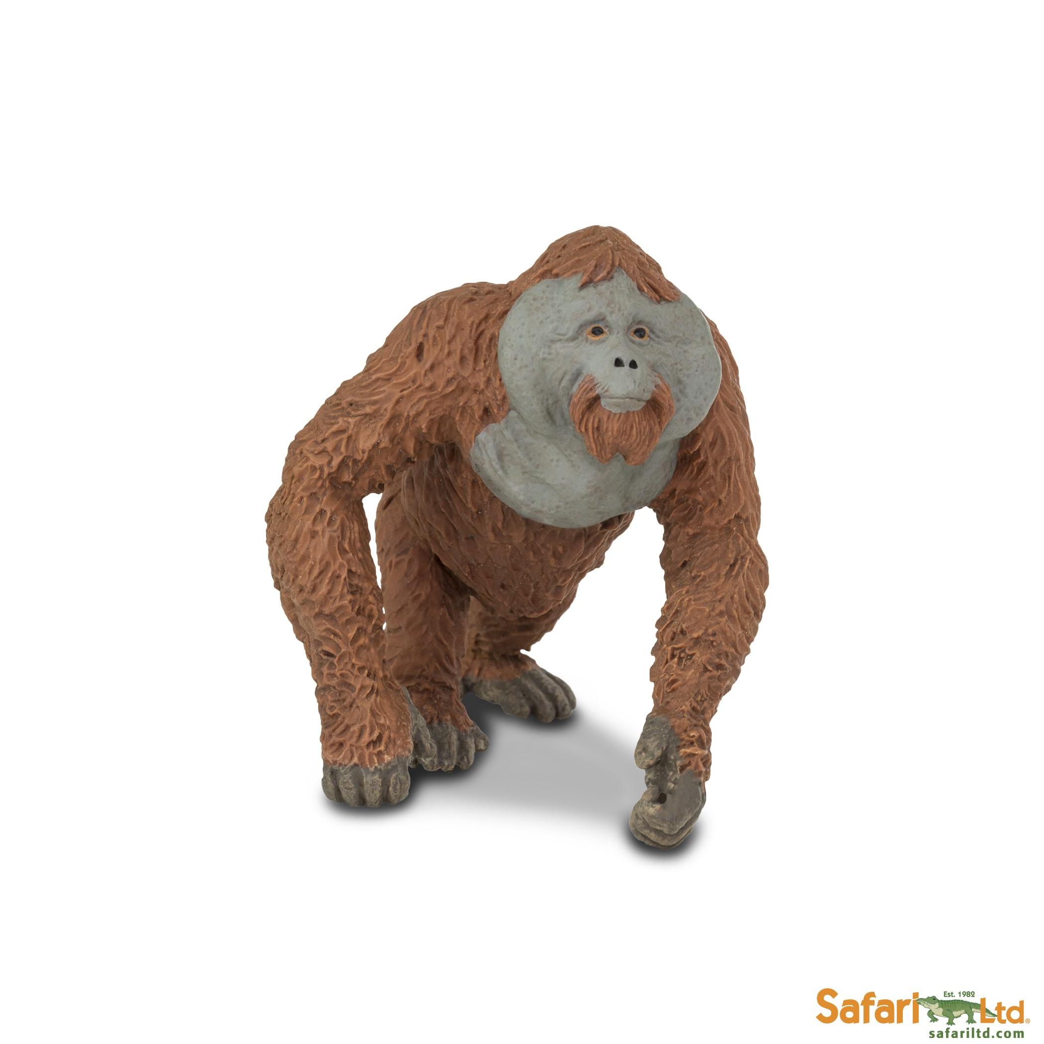 Orangutan - samec
