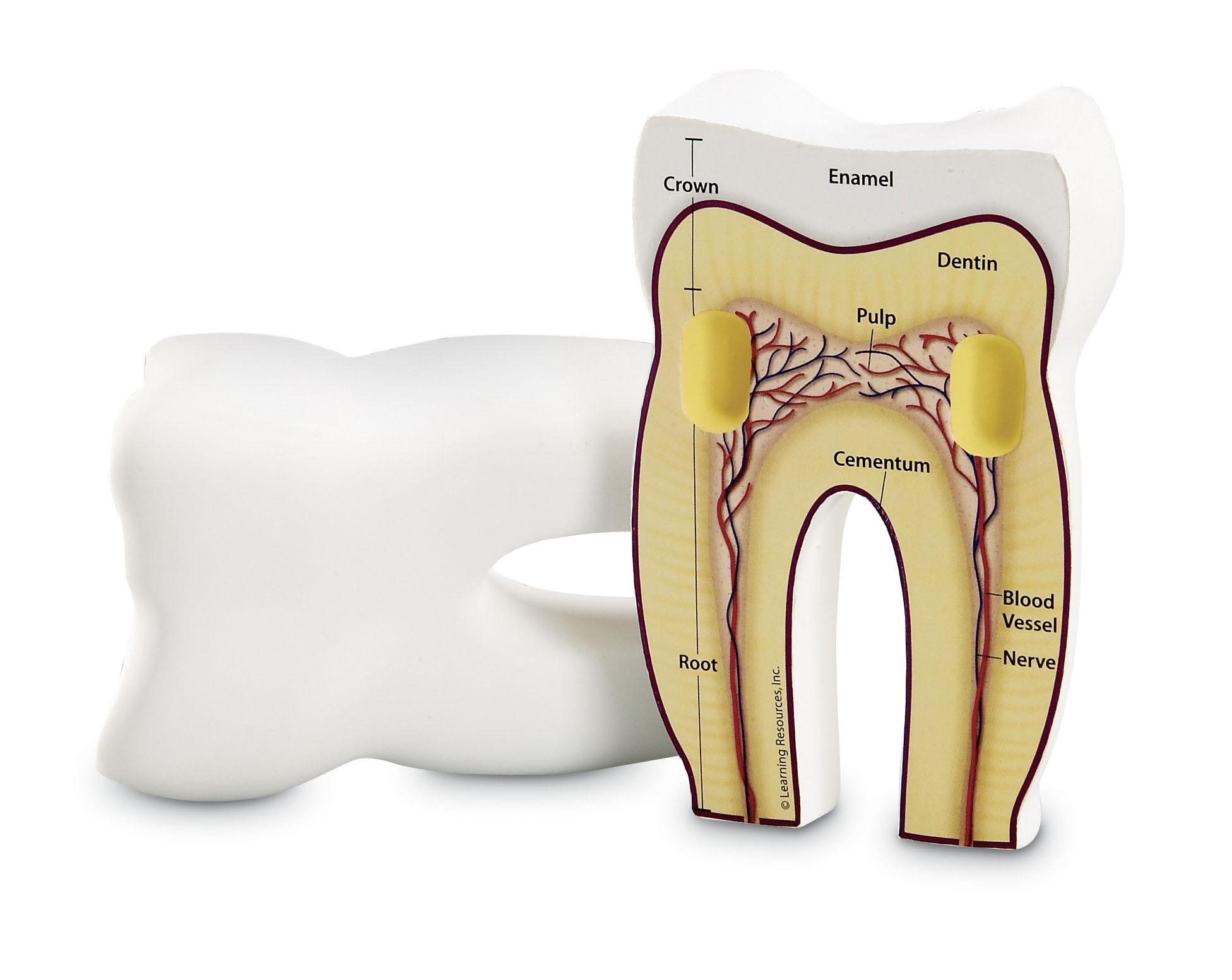 Pěnový model zubu