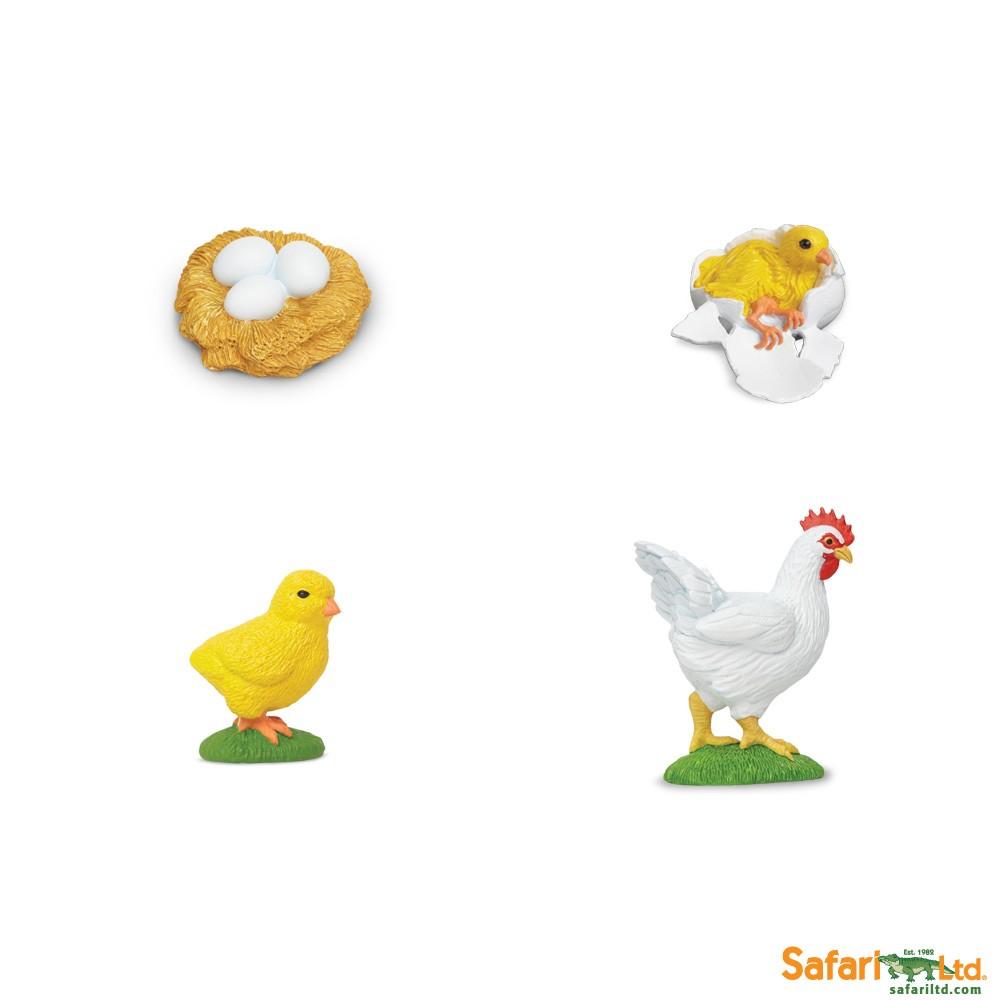 Životní cyklus - Kuře